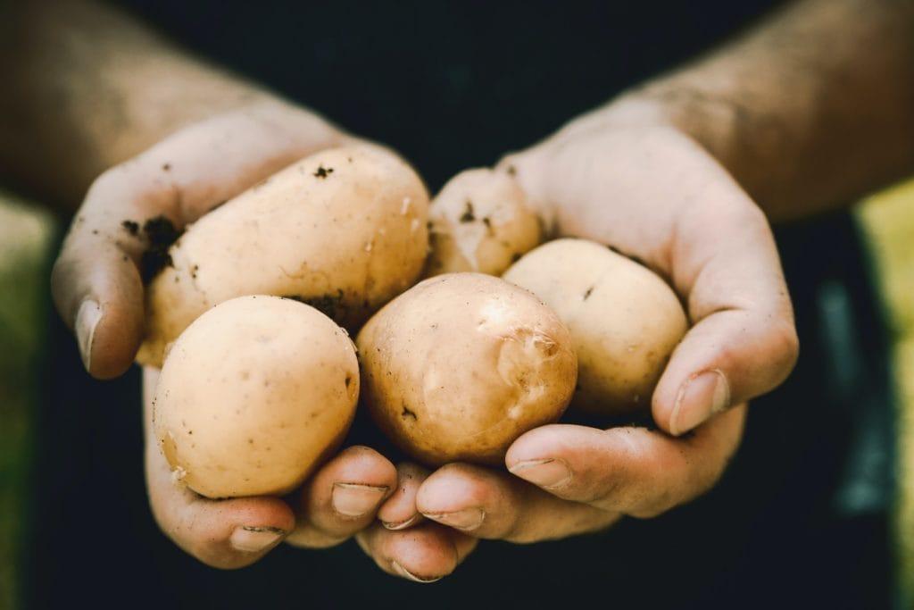 Eine Hand, die zahlreiche Kartoffeln hält