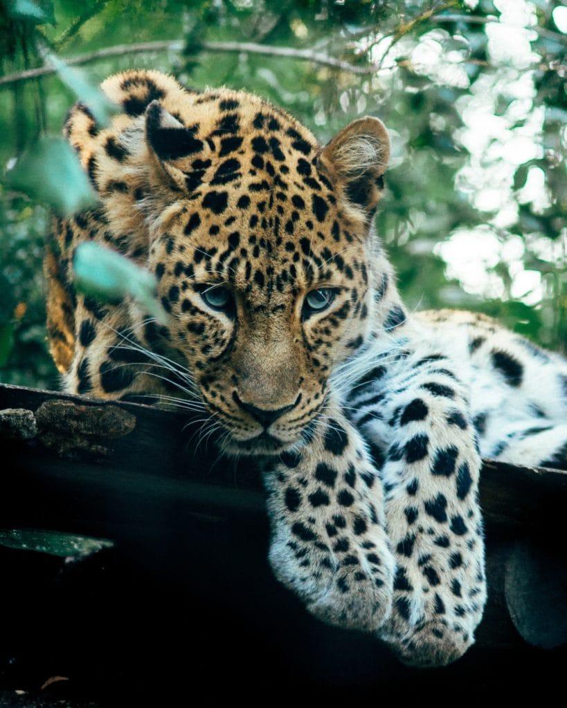 Leopard ruht sich aus