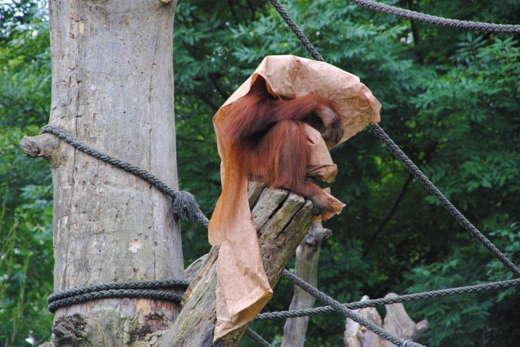 Auch der Orang Utan ist ein Bewohner des Zoo Leipzig. Hier versteckt er sich aber.