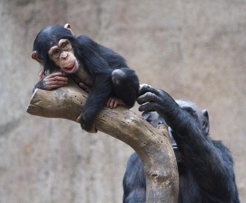 Kleiner Baby-Schimpanse versucht mit der Hilfe der Mutter einen Ast zu erklimmen