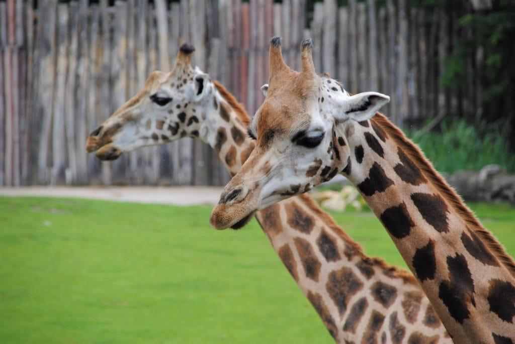 Zwei Giraffen zeigen ihr wunderschönes Muster auf dem Fell