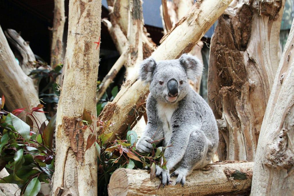 Ein Koala sitzt vor den Bäumen in seinem Gehege und ist ausnahmsweise mal wach