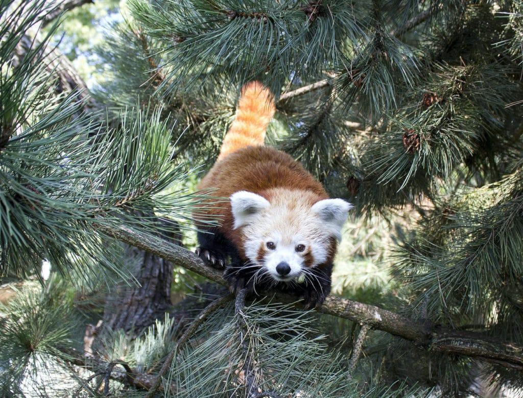 Ein roter Panda guckt aus dem Grün seines Geheges