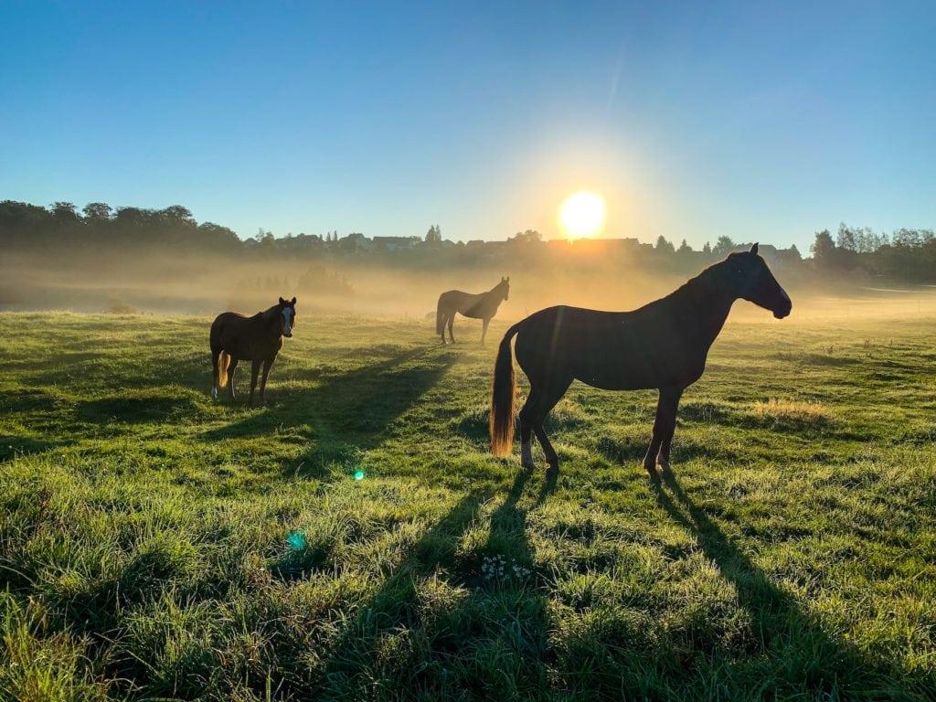 Pferde grasen auf Wiese in der Eifel