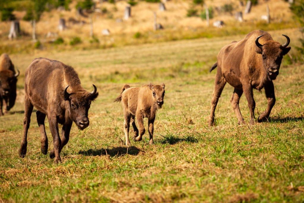 Wildtiere in Deutschland laufen auf Wiese