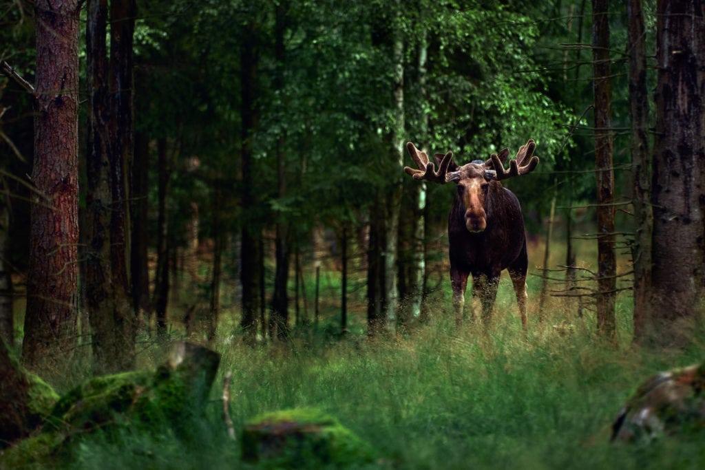 Elch steht in dichtem Wald in Deutschland