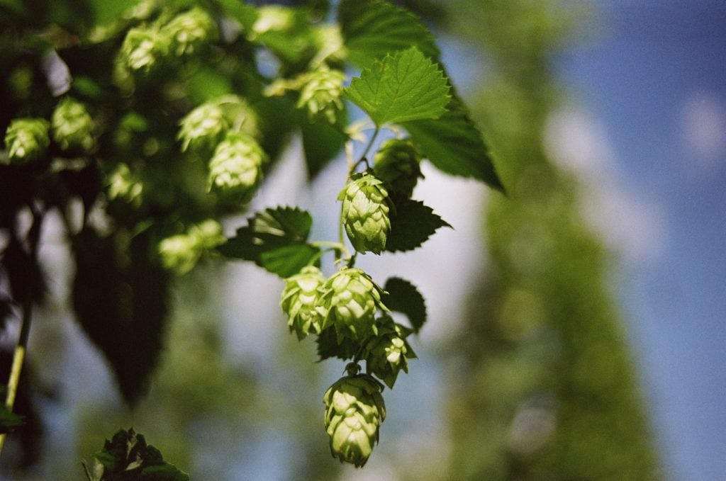 Hopfen-Pflanze