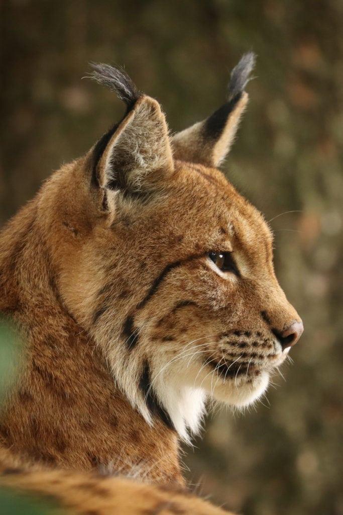 Profil des Eurasischen Luchses (Lynx lynx). Nahaufnahme des Kopfes eines Luchses. Bayerischer Wald, Deutschland.