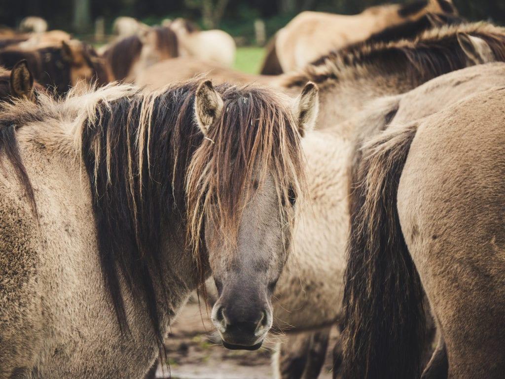 Die letzten Wildpferde in Europa leben in Dülmen, Deutschland. Sie haben 350 Hektar Rückzugsgebiet, können aber an den Wochenenden auf einer großen Wiese gesehen werden.