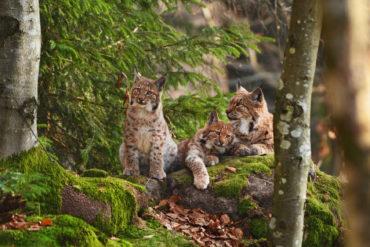 Luchs-Familie liegt in Waldstück in Deutschland