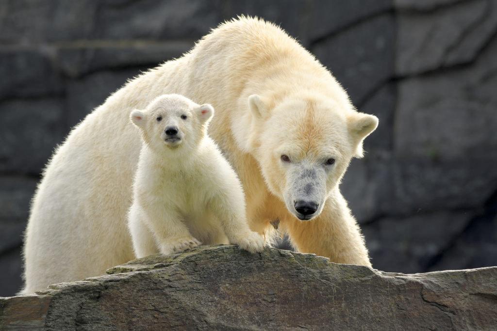 Eisbärin Tonja mit Nachwuchs im Zoo Berlin