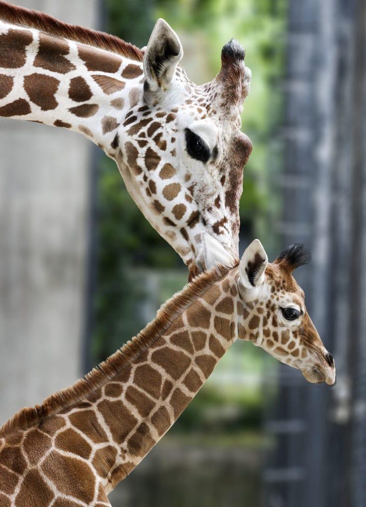 Giraffe und ihr Kind Leonie im zoologisch-botanischen Garten Wilhelma in Stuttgart, einem der tollsten Tierparks in Deutschland