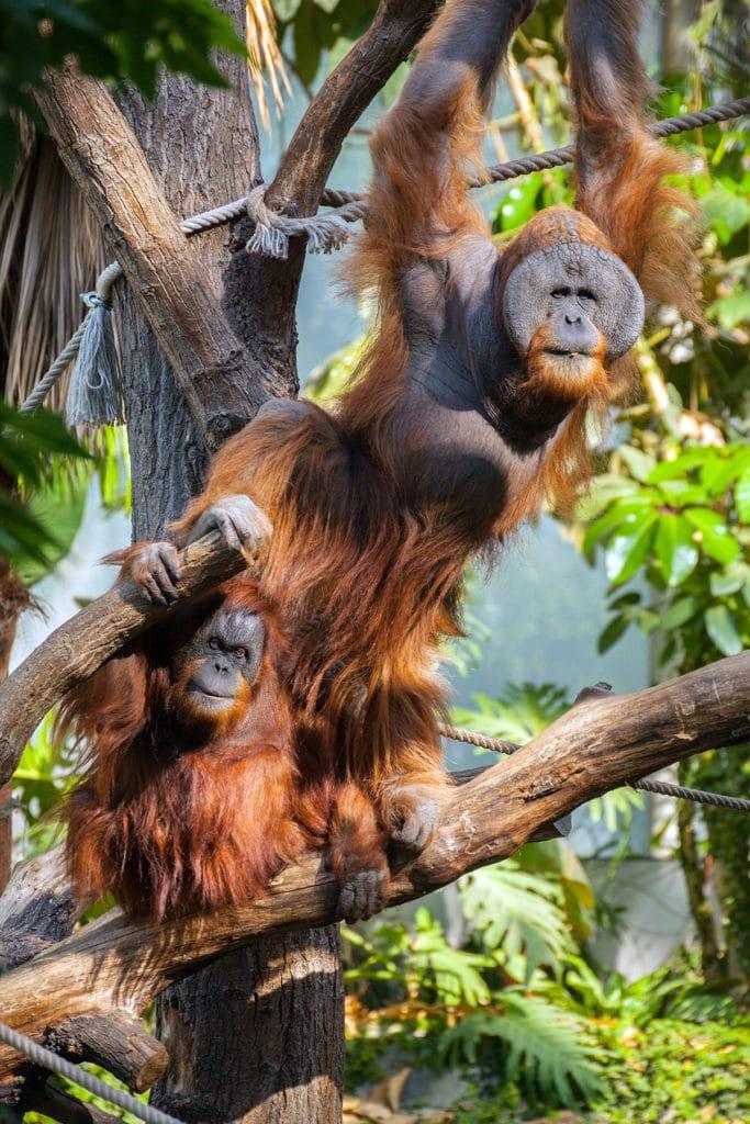 Orang-Utan im Tierpark Hagenbeck in Hamburg