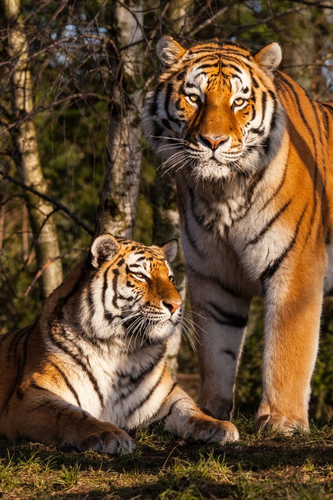 Sibirische Tiger in einem Tierpark in Deutschland