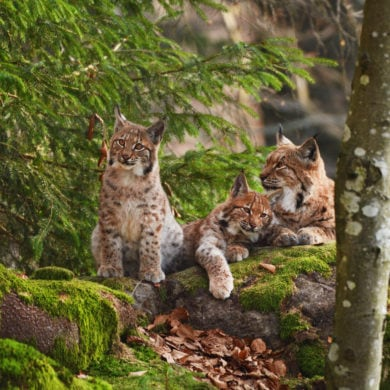 Lynx family lying in woodland in Germany