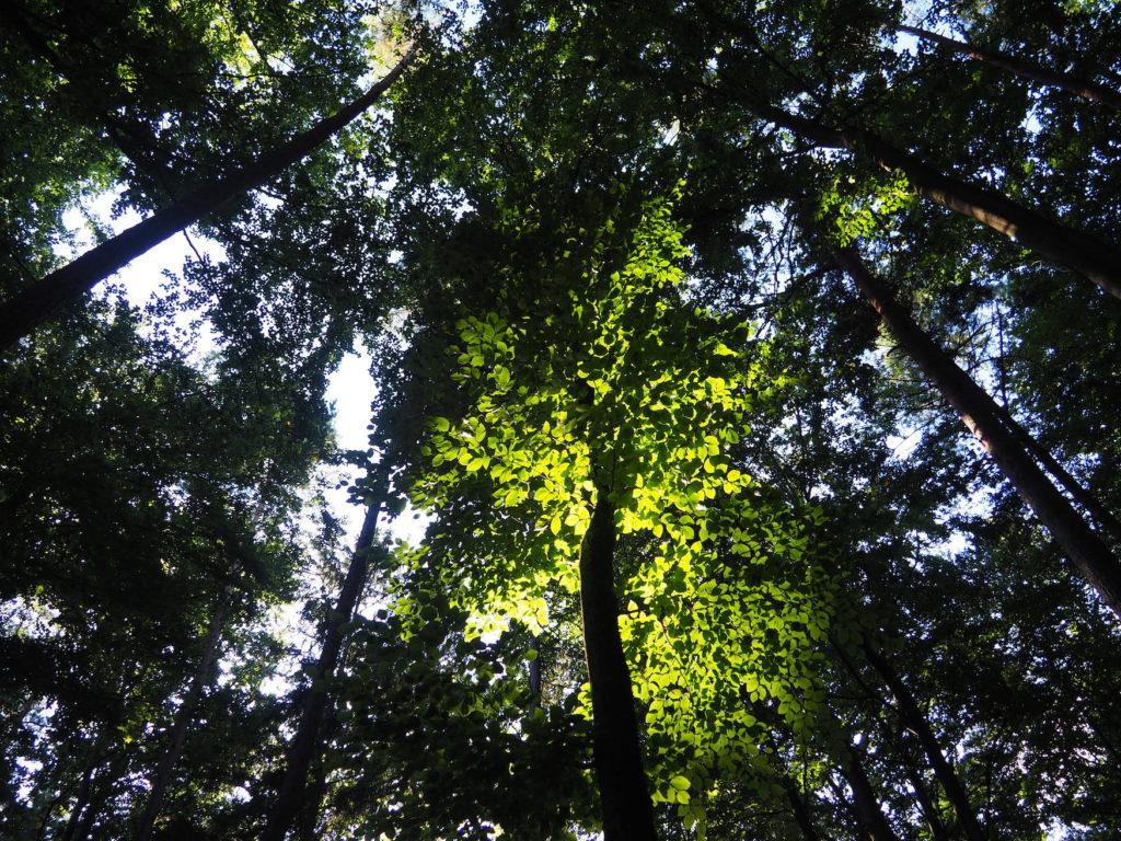 Blätterdach mit Lichtreflexionen im Bayerischen Wald