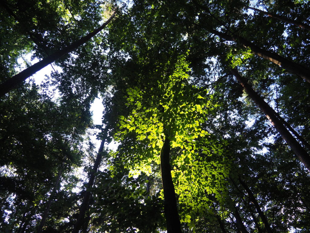 Canopy of leaves with light reflections in the Bavarian Forest