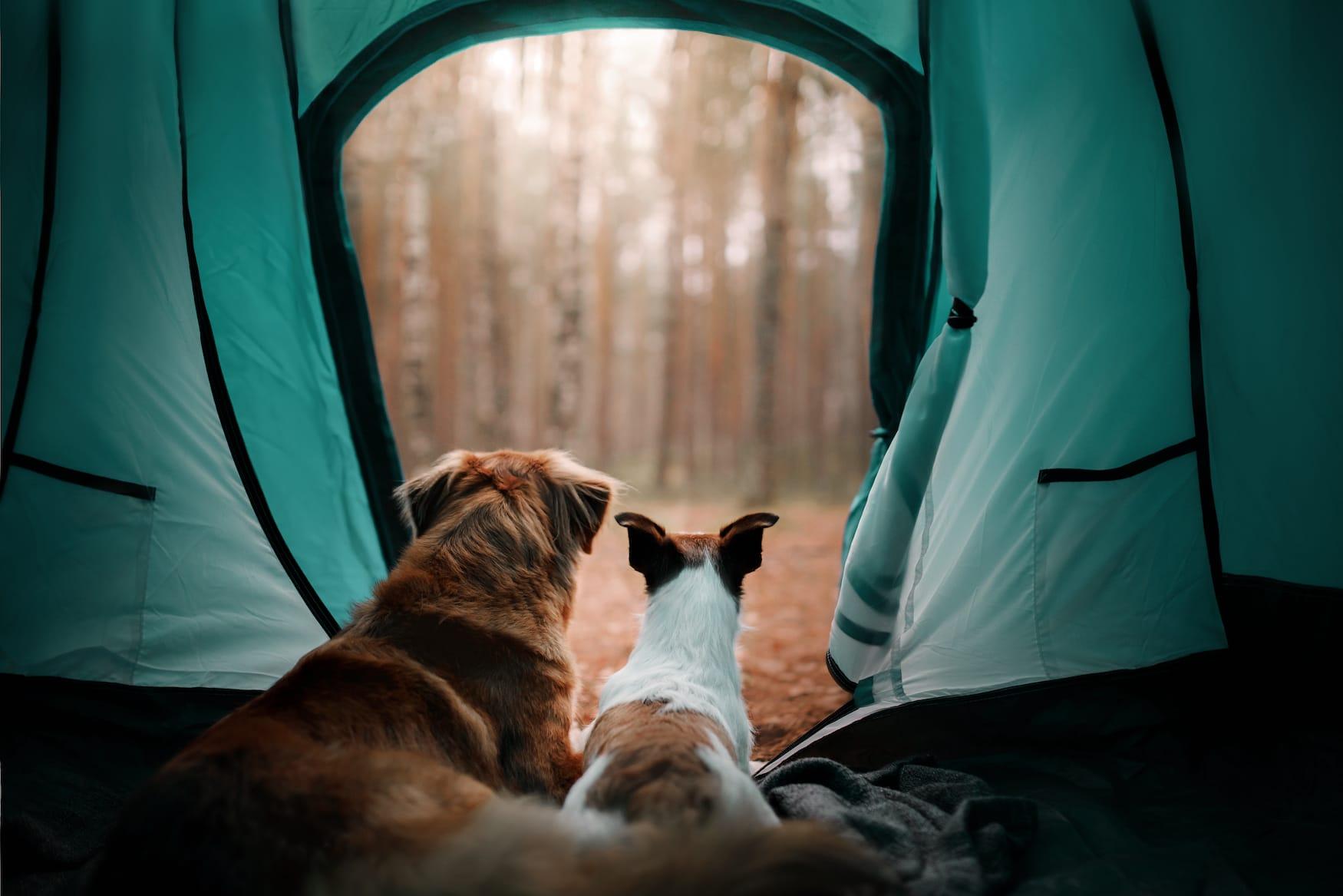 Zwei Hunde schauen aus grünem Zelt in den Wald