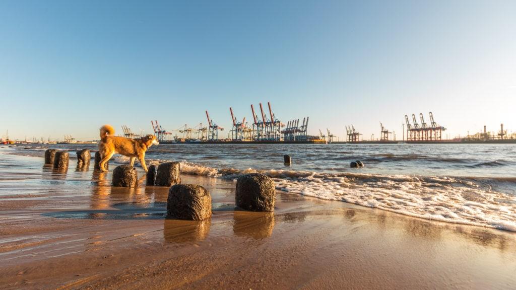 Hund spaziert am Strand im Hamburger Hafen