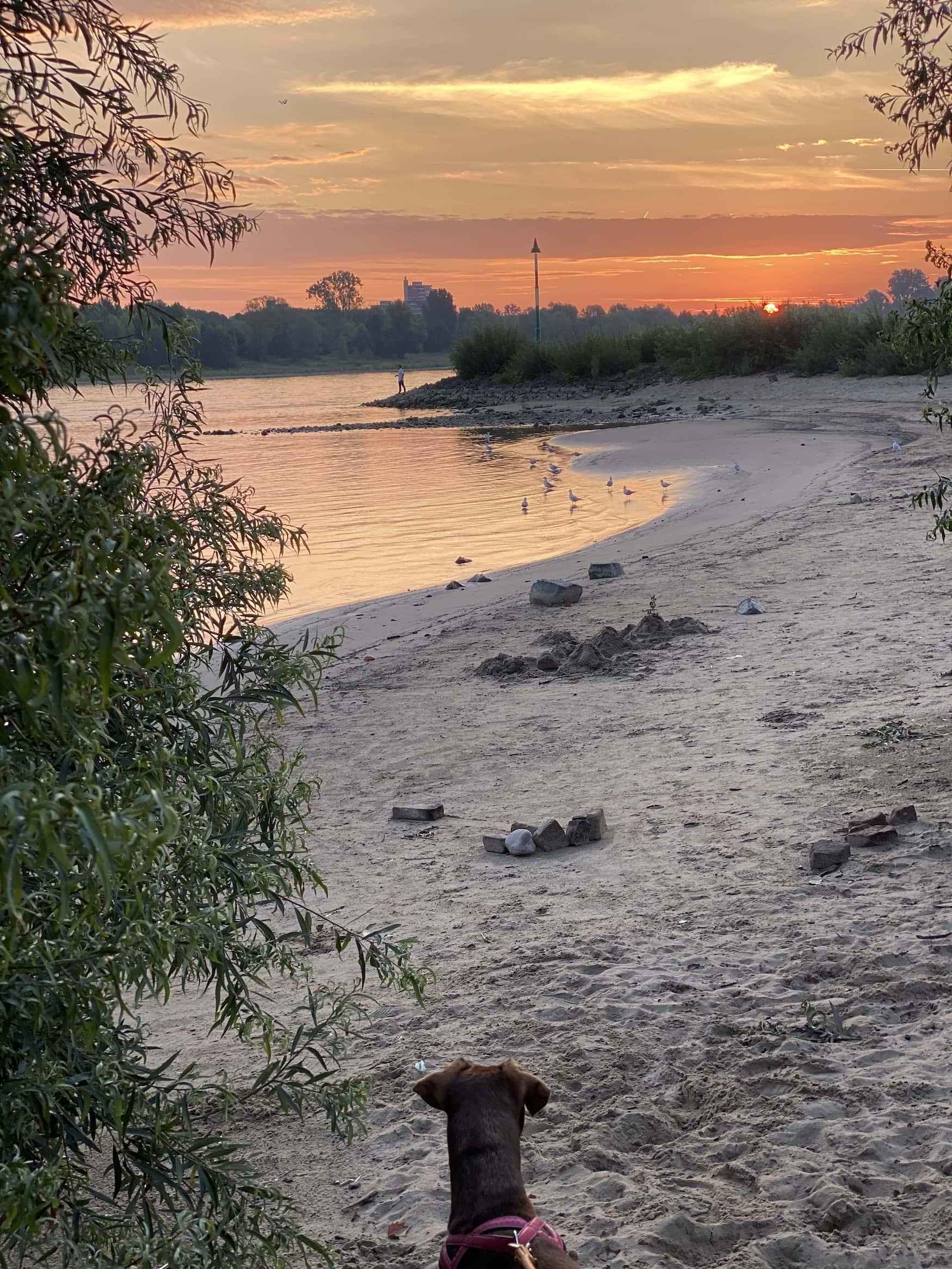 Hund schaut den Sonnenuntergang am Rhein in Köln Rodenkirchen