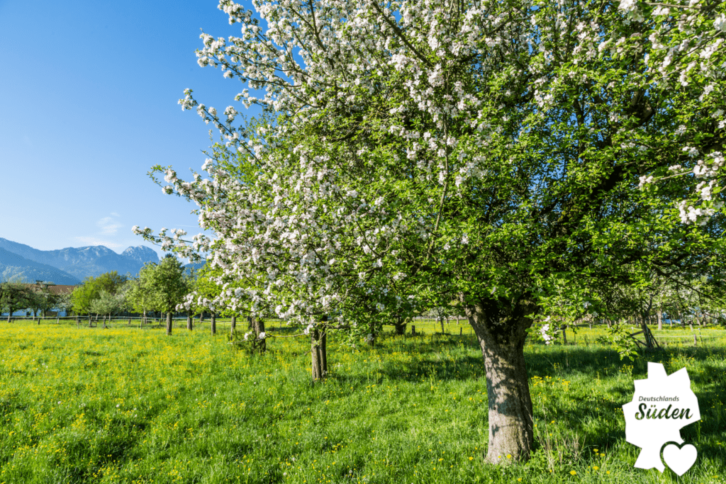 Obstbaum in Bad Feilnbach